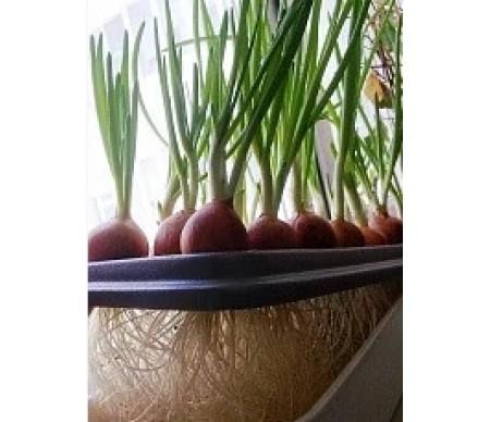 Домашняя установка «Луковое счастье»
